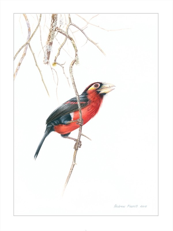 Barbet double toothed 2