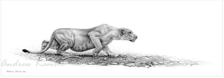 Sam male lion